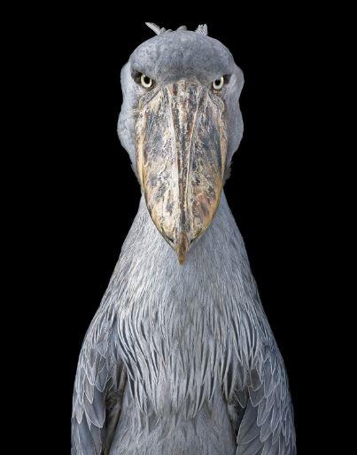 حيوانات نادرة مهددة بالانقراض - Shoebill